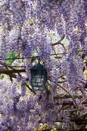 vernal: Live canopy of wisteria