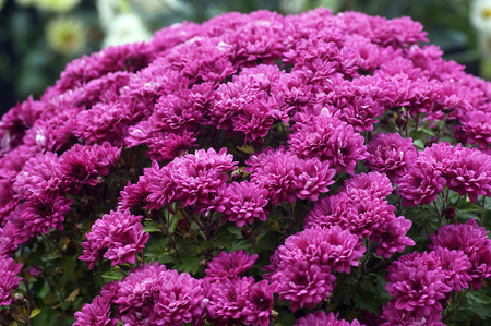 Flowers purple chrysanthemums