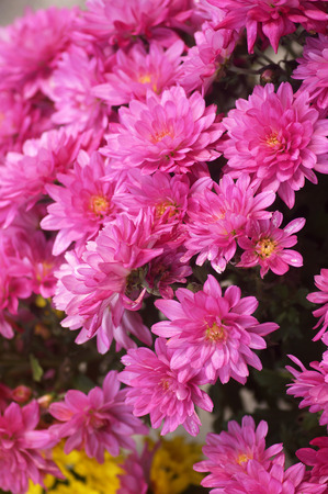 Light purple chrysanthemum Imagens