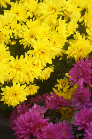 Two types of chrysanthemums