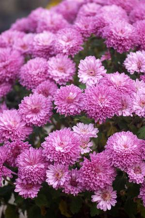thriving: Flowering bush purple chrysanthemums Stock Photo