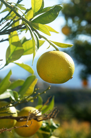 bitter orange: Bitter orange on a branch