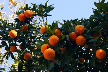 foetus: Oranges in the garden