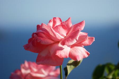 pompous: pale pink rose