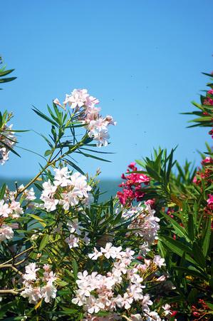 incarnadine: flowering oleander