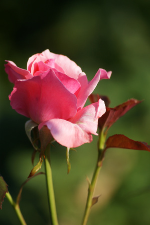 incarnadine: Bud of a pink rose Stock Photo