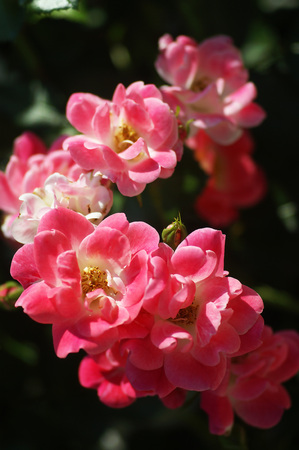 incarnadine: A branch of pink roses