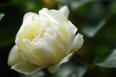 Bud of a white rose