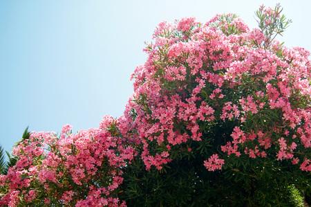 garden stuff: pink oleander