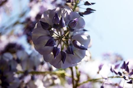 garden stuff: Flower wisteria Stock Photo