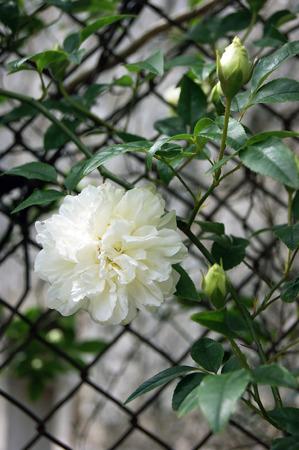 garden stuff: Flower white rose