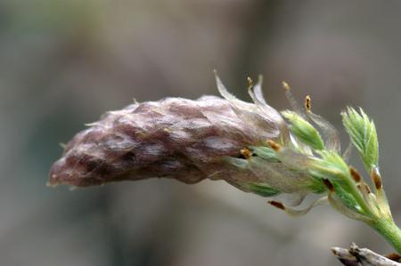 garden stuff: Unblown wisteria