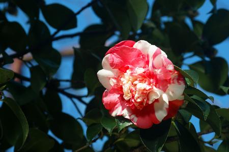 garden stuff: White and pink camellia