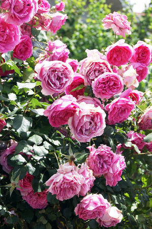 ornamental shrub: shrub roses Stock Photo