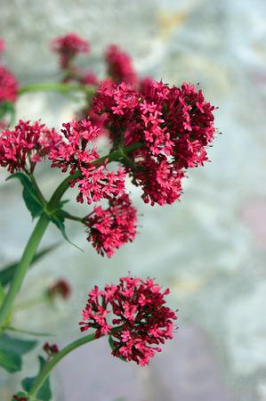 incarnadine: bright flower