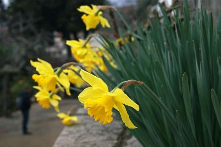 daffodils: yellow daffodils Stock Photo