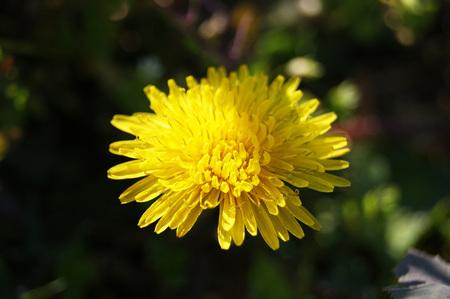 thriving: dandelion