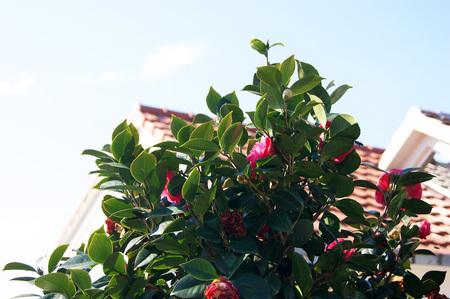 yard stick: Bush pink camellia