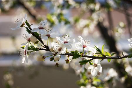 garden stuff: The tree is in bloom