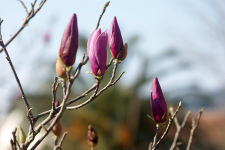 bourgeon: Magnolia buds