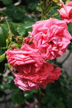 incarnadine: Lush rosebuds