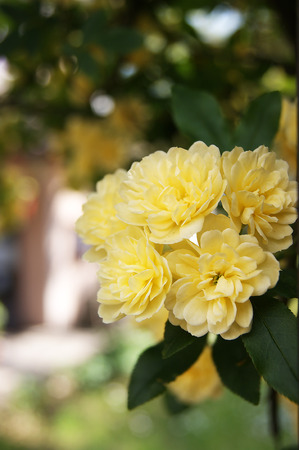 yard stick: A branch of yellow roses