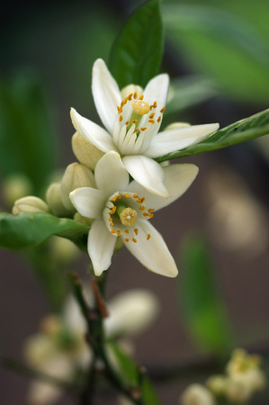 grower: orange blossoms Stock Photo