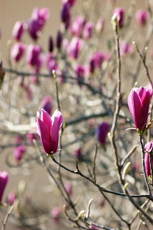 bourgeon: Blooming purple magnolia
