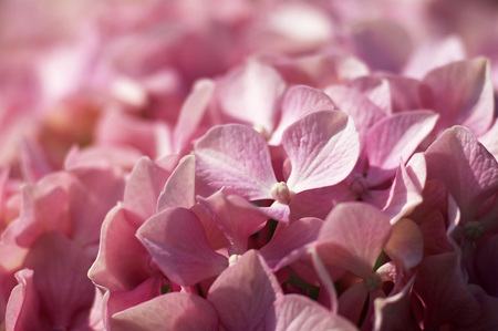 thriving: pink hydrangea