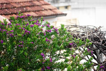 shrub: Shrub with purple flowers