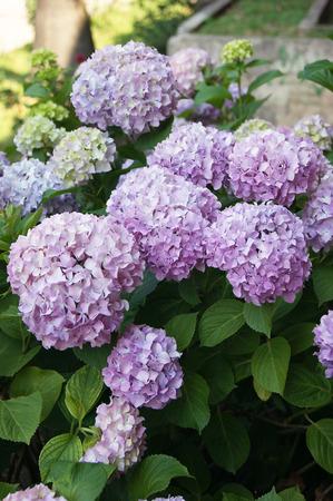 pompous: Flowering bush hydrangeas