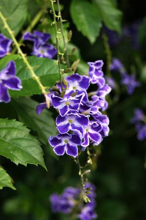 grower: Blue flowers on the bush