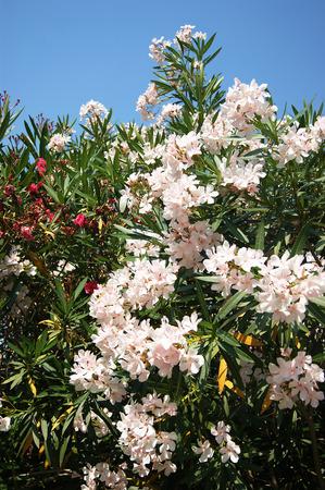 oleander: Blooming white oleander bush