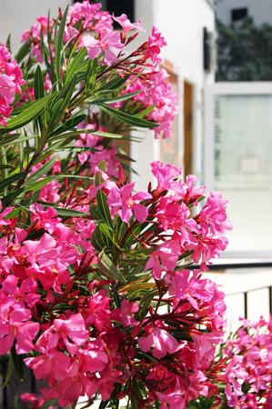 oleander: Bright pink oleander Stock Photo