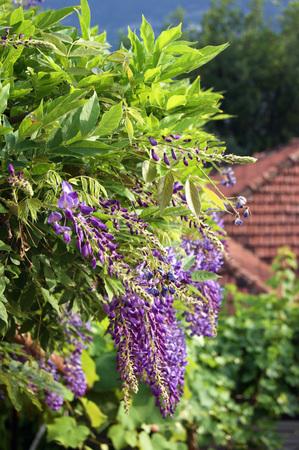 thriving: Spring purple wisteria Stock Photo