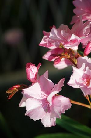 oleander: Flowers pink oleander Stock Photo