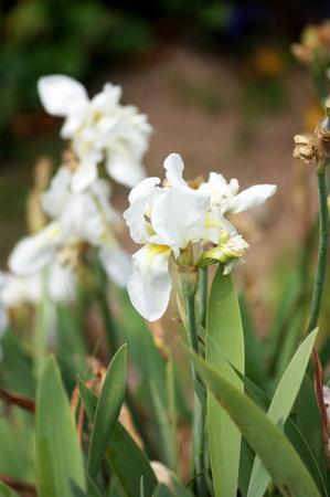 irises: Large white irises Stock Photo