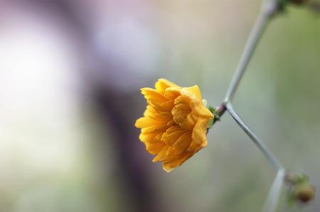 yard stick: Japanese Kerria