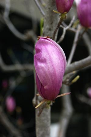 bourgeon: Closed bud magnolia