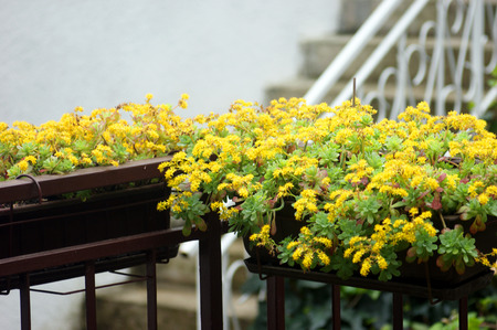 scenical: Yellow flowers in pots