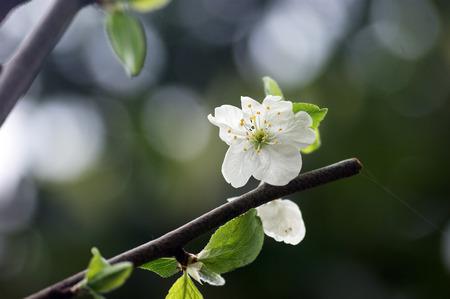 yard stick: White flower fruit tree Stock Photo