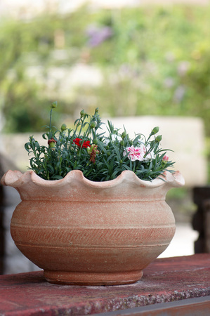 bourgeon: Carnation in a pot Stock Photo
