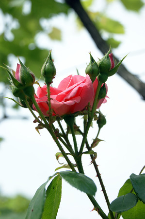 bourgeon: Flower rose pink