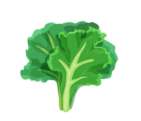 Green lettuce salad in bright color cartoon flat style isolated on white background. Healthy food vector illustration. Organic meal concept