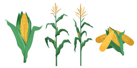 Corn vector illustration in flat cartoon style. Maize cob heap, plants isolated on white background