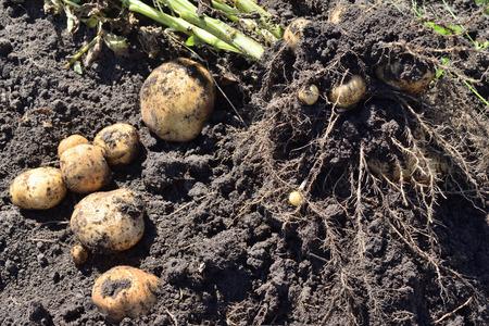dug: dug potatoes bush lying on the ground Stock Photo