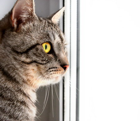 Grey tabby cat sitting on window and looking somewhere, with space for text