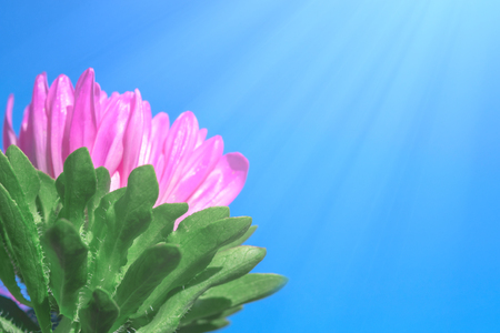 Bright pink aster in the summer on a background of blue sky in the sunshine. Space for text.