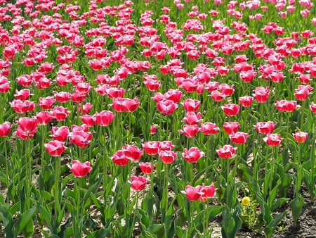 Pink tulips are blooming on the flowerbed in park Stock Photo
