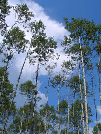 birchwood: birches, birch-wood, Russia